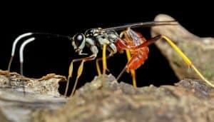 avispas parasitoides en el hábitat