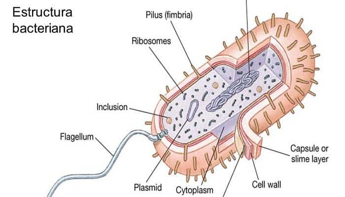 estructuras de las bacterias