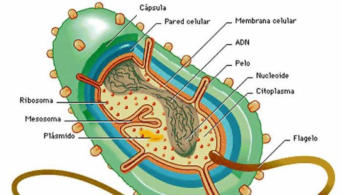 Estructura Bacteriana Qué Es Partes Estructura