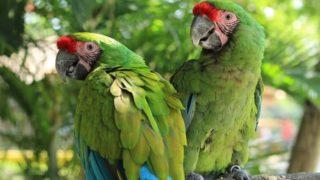 El guacamayo verde en peligro de extinción